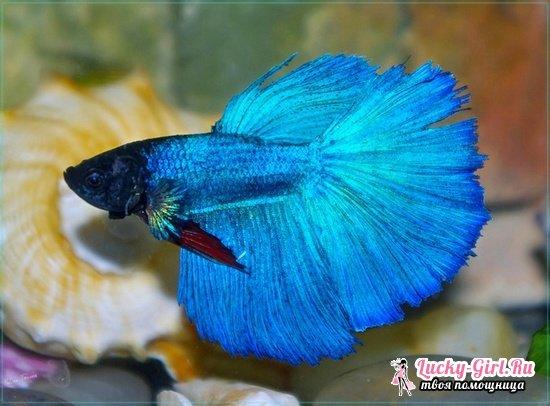 Рыбка петушок: уход и содержание, совместимость с другими аквариумными рыбками