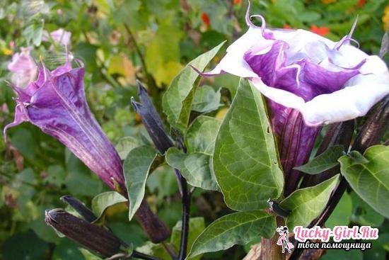 Бругмансия: выращивание из семян и особенности ухода за растением