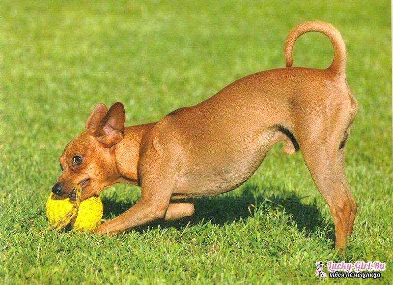 Маленькие породы собак: названия и описание основных характеристик