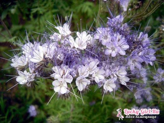 Фацелия: когда посеять, как сидерат  отзывы и советы садоводов