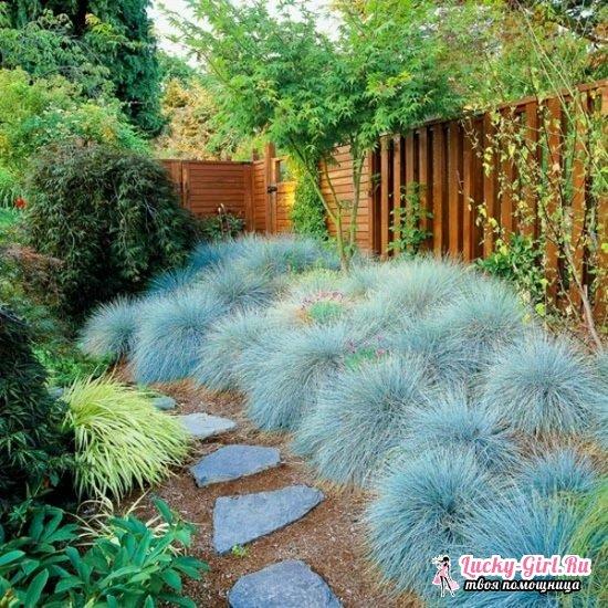 Овсяница сизая: выращивание из семян, отзывы садоводов