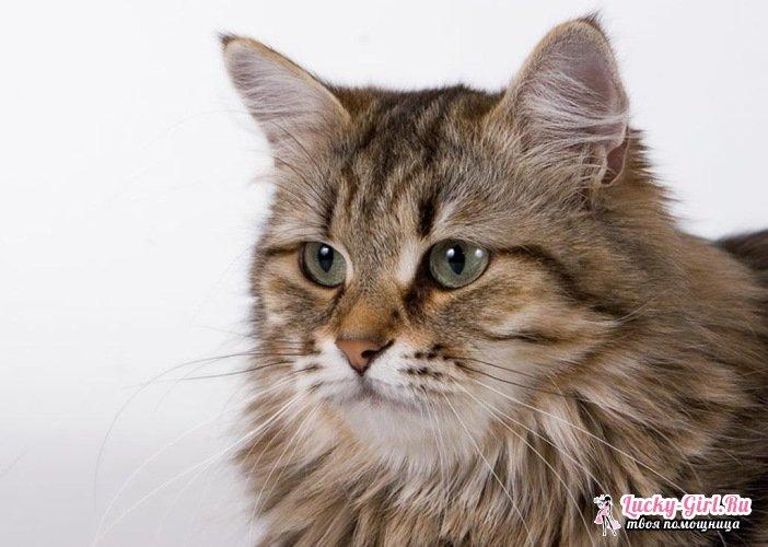 Самая крупная порода кошек. Описание крупных пород кошек с фото и цены на котят