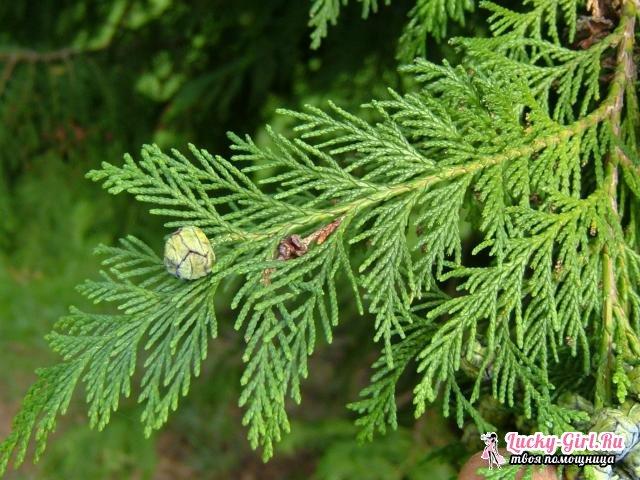 Кипарисовик: посадка и уход. Фото и особенности видов растения