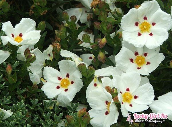 Кустарники цветущие все лето: список. Описание и фото цветущих кустарников