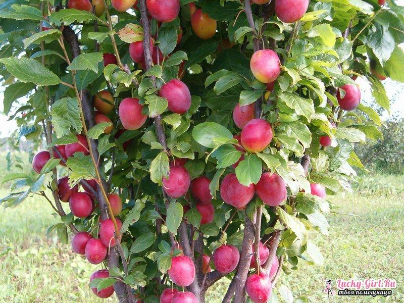 Посадка сливы весной. Советы опытных садоводов и особенности ухода