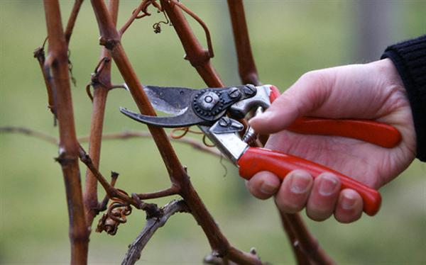 Как обрезать виноград весной? Подготовка, успешные методики и видео-урок