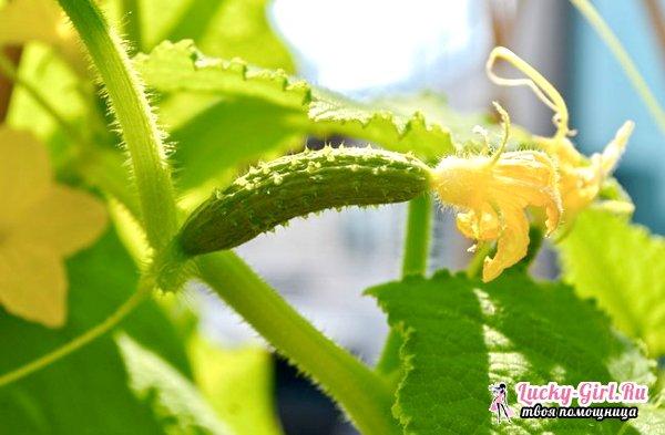 Как прищипывать огурцы в открытом грунте? Основные способы