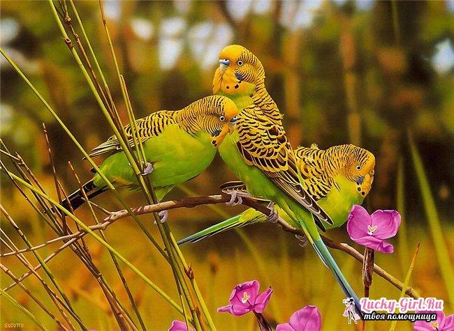 Имена для попугаев мальчиков