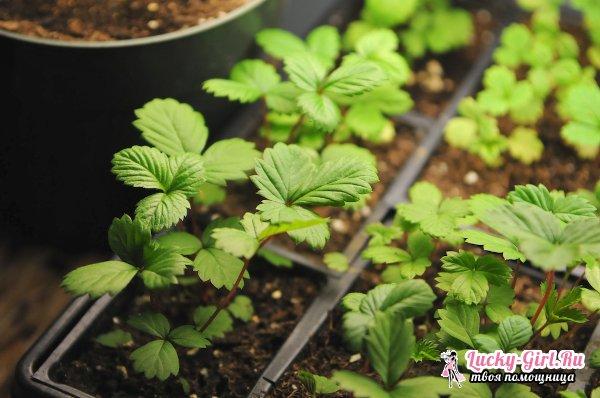 Выращивание земляники из семян: лучшие сорта и рекомендации по уходу
