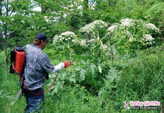Как вывести борщевик? Эффективные способы борьбы с сорняком