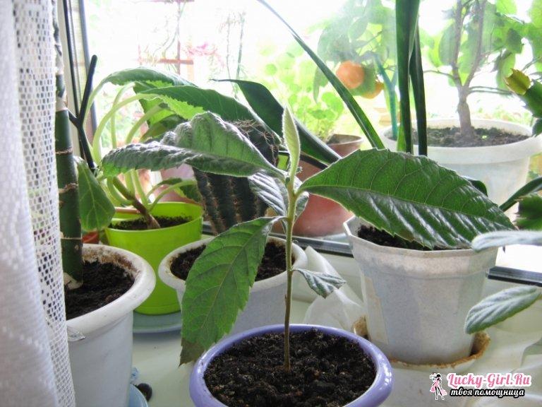 Мушмула: как вырастить из косточки? Выращивание в домашних условиях