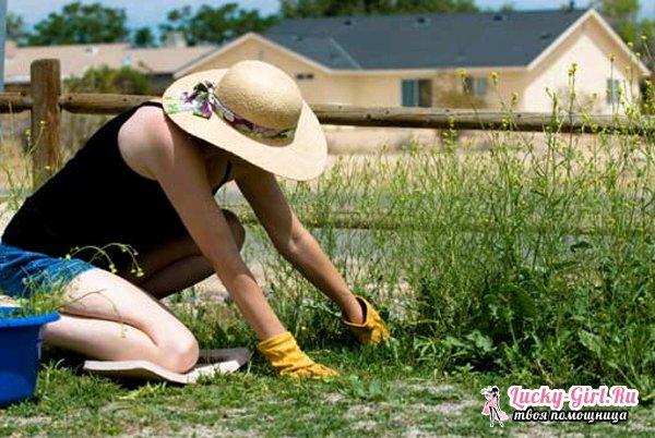 Как вывести осот с огорода?