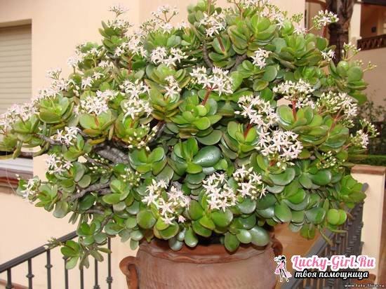 Денежное дерево: уход в домашних условиях, цветение