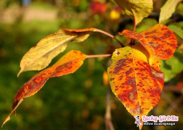 Почему желтеют листья у яблони?