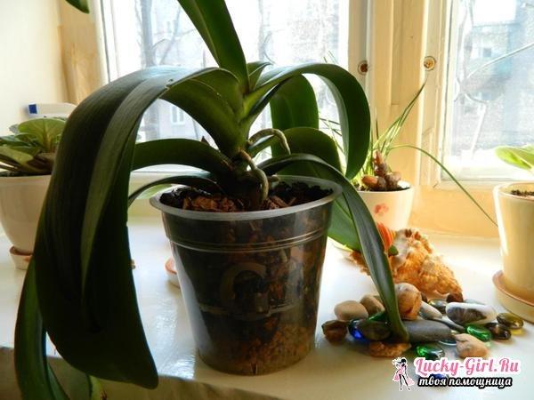 Вянут листья у орхидеи: что делать?