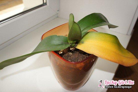 Почему у орхидеи желтеют листья?