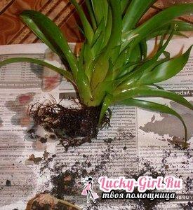 Гузмания: как происходит пересадка деток и самого растения?
