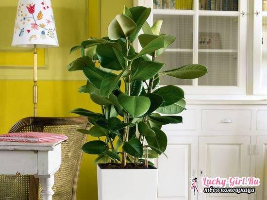 Каучуковый фикус  уход в домашних условиях, польза и вред каучукового дерева