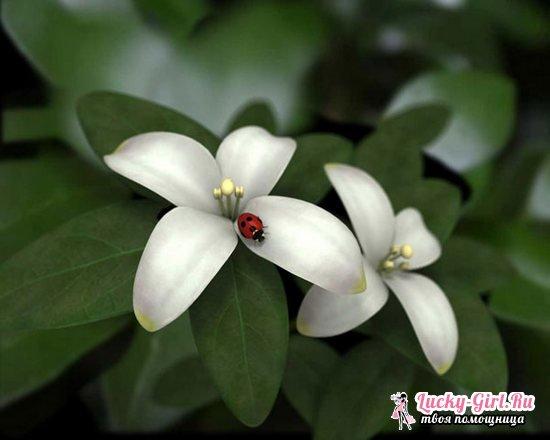 Комнатный жасмин  уход в домашних условиях, размножение, цветение