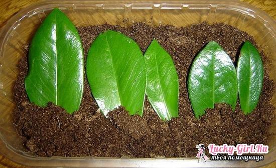 Долларовое дерево: как за ним ухаживать в домашних условиях, размножать и пересаживать