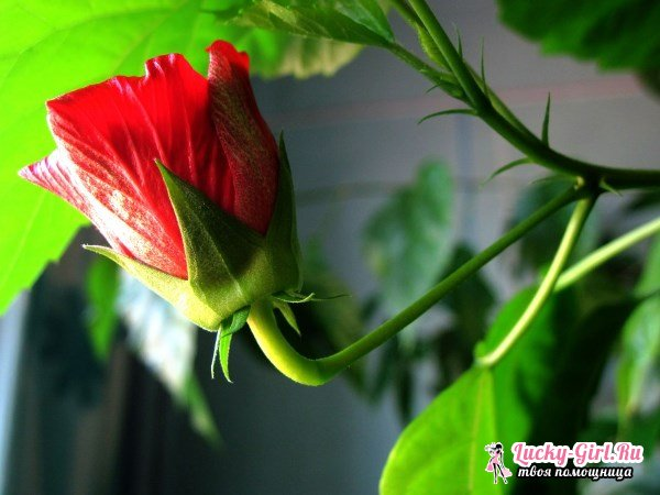Роза китайская: уход. Можно ли держать китайскую розу дома?
