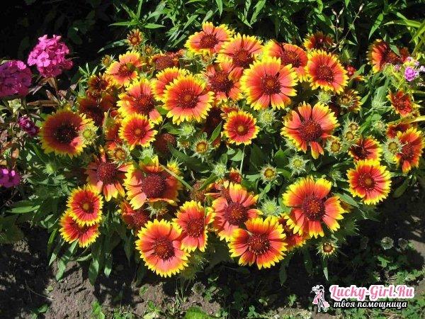 Гайлардия: посадка и уход. Особенности выращивания гайларии и фото цветка