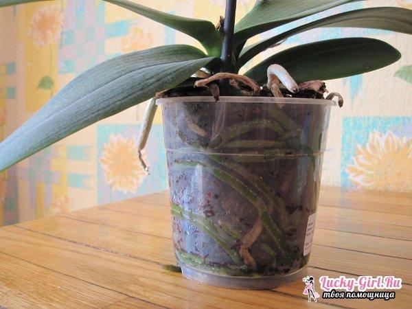 Как спасти орхидею без корней? Реанимация орхидеи в парнике и с помощью мха