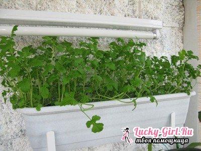 Горчица листовая: выращивание в домашних условиях