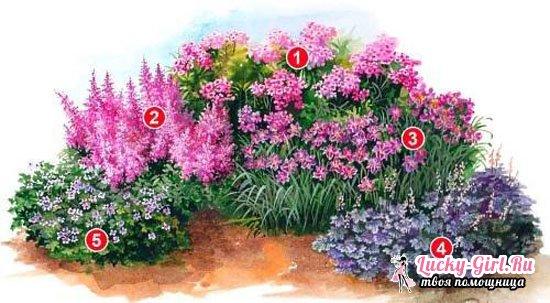Клумба из многолетников непрерывного цветения для начинающих  советы, схемы
