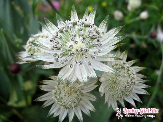 Цветок астранция крупная  фото, посадка и уход