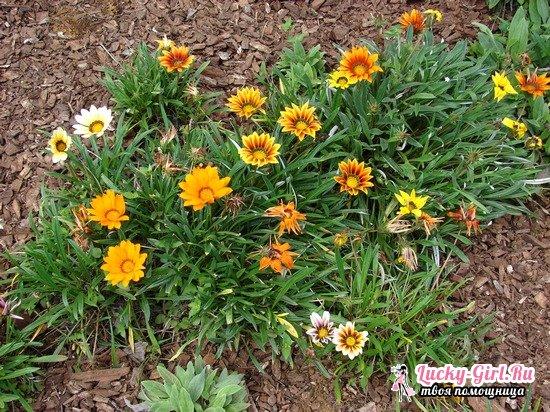 Газания: выращивание и уход в домашних условиях