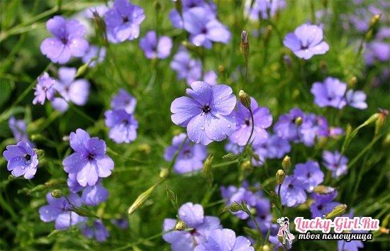 Вискария: выращивание из семян, посадка и уход за растением