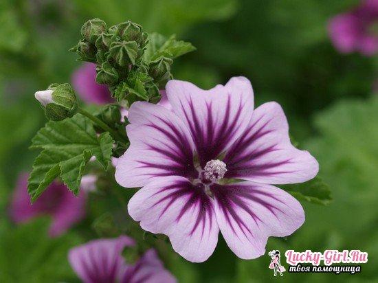 Мальва: выращивание из семян и особенности последующего ухода