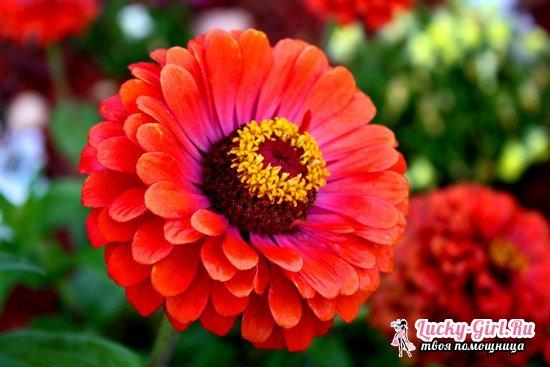 Цинии: посадка и уход, выращивание из семян в домашних условиях