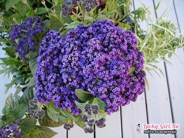 Гелиотроп: выращивание, фото оригинального цветка