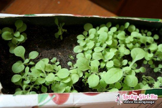 Душистый табак: выращивание из семян и уход в домашних условиях