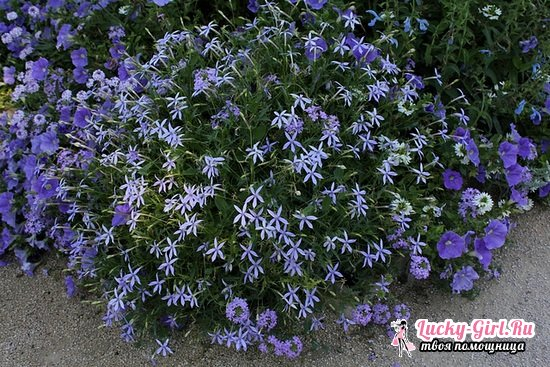 Лаурентия: выращивание из семян, фото растения