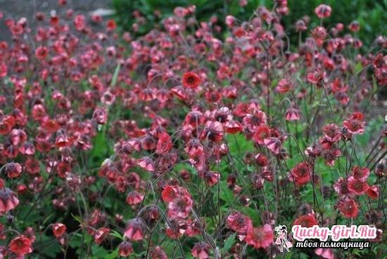 Гравилат: выращивание из семян с учетом сортовых особенностей