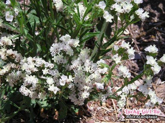 Лимониум: выращивание из семян и особенности растения