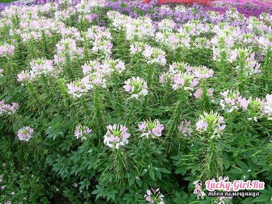 Клеома: выращивание из семян и тонкости посадки и ухода
