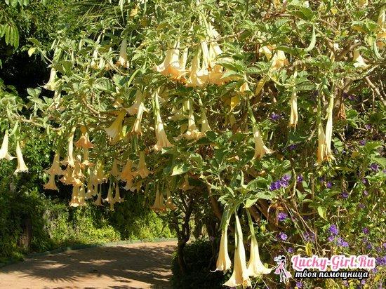 Датура махровая: выращивание из семян и особенности ухода