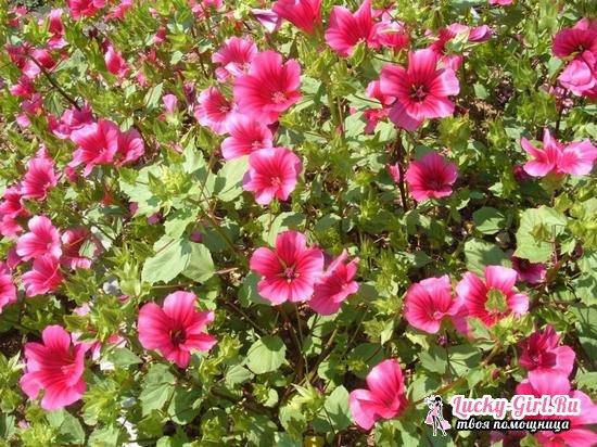 Малопа: выращивание из семян и особенности ухода за растением