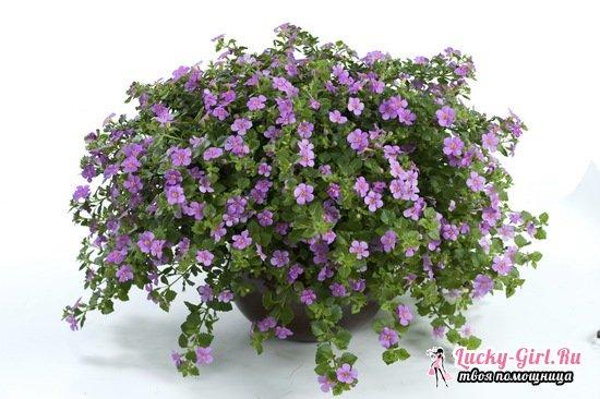 Бакопа: выращивание из семян, особенности ухода и фото растения