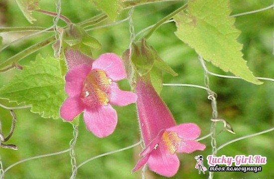 Азарина лазающая: выращивание из семян и тонкости ухода
