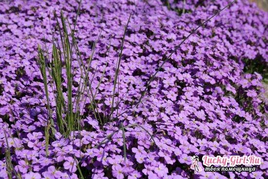 Аубреция: выращивание из семян и особенности ухода