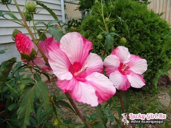 Гибискус болотный: выращивание из семян, посадка и уход