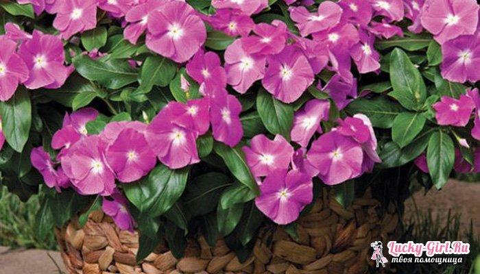Катарантус: уход в домашних условиях. Катарантус розовый: лечебные свойства