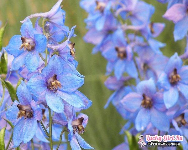 Цветы голубого цвета. Описание и фото наиболее распространенных видов и сортов