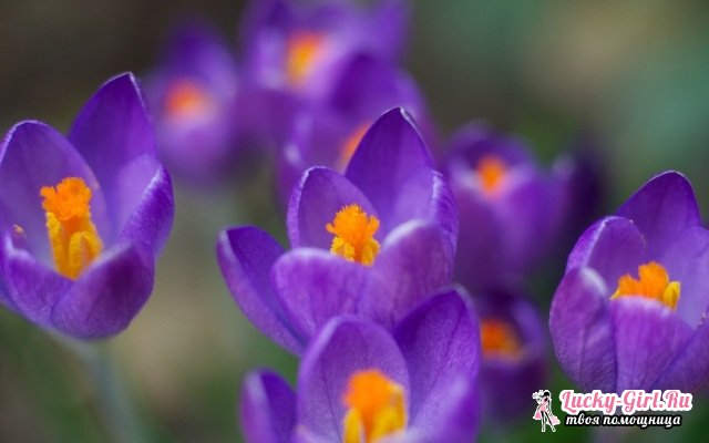 Цветы фиолетового цвета. Названия, описание, значение цветов фиолетового цвета