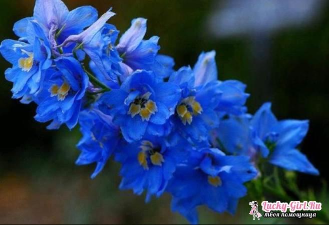 Цветы синего цвета: названия и фото. Как покрасить цветы в синий цвет?